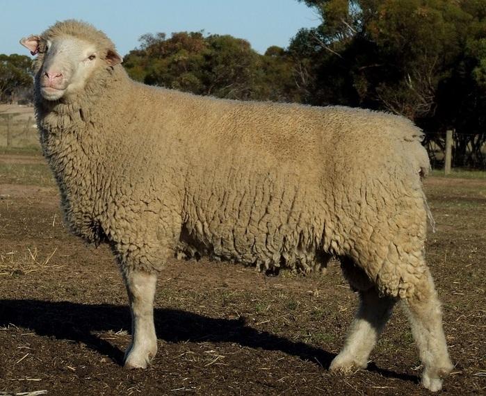 「メリノ羊」の画像検索結果